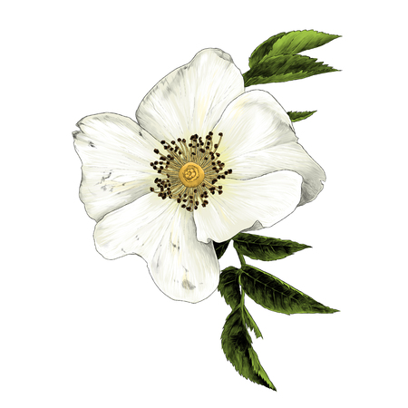 rose hip flower with leaves, sketch vector graphic color illustration on white background