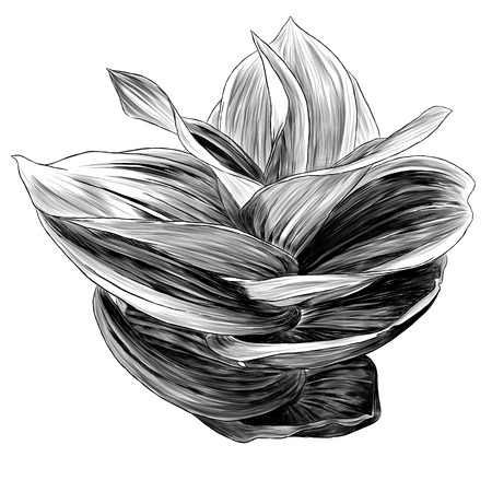 grass hellebore, sketch vector graphics monochrome illustration on white background
