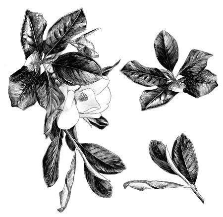 set of Magnolia branches with flower and leaves, sketch vector graphics monochrome illustration on white background Imagens