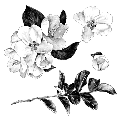set of Apple flowers with leaves on a branch, sketch vector graphics monochrome illustration on white background Imagens