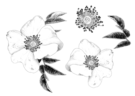 rose hip flower with leaves set of multiple elements, sketch vector graphics monochrome illustration on white background