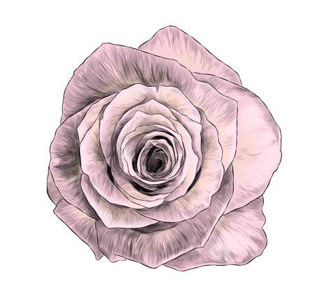 rose flower bloomed Bud top view, sketch vector graphic color illustration on white background