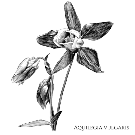 aquilegia vulgaris flower with blooming Bud and not yet blossomed, branches with leaves, sketch vector graphics monochrome illustration on white background