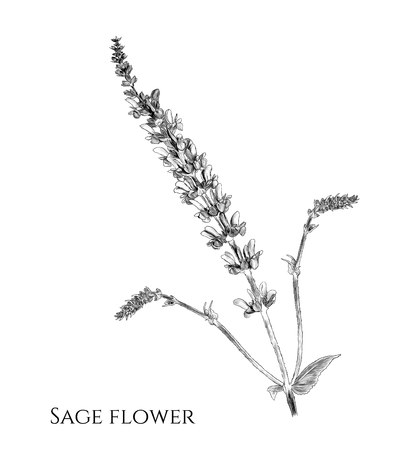 flower sage branch with appendages, sketch vector graphics monochrome illustration on white background Banque d'images - 110122422