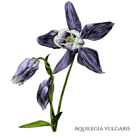 aquilegia vulgaris flower with blooming Bud and not yet blossomed, branches with leaves, sketch vector graphic color illustration on white background