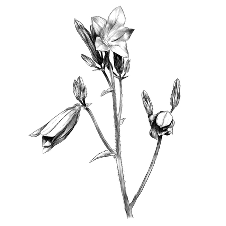 sprig bell flowers, sketch vector graphic monochrome illustration on white background