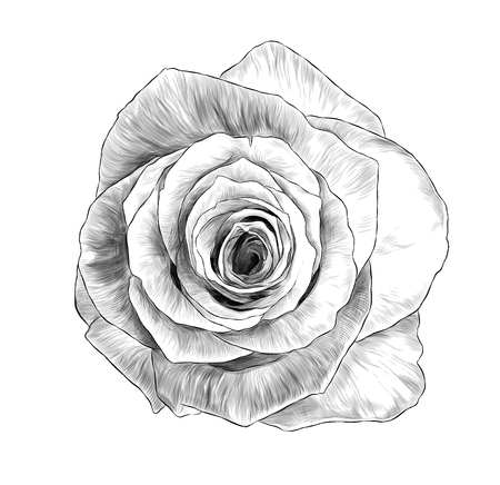 rose flower bloomed Bud top view, sketch vector graphic monochrome illustration on white background