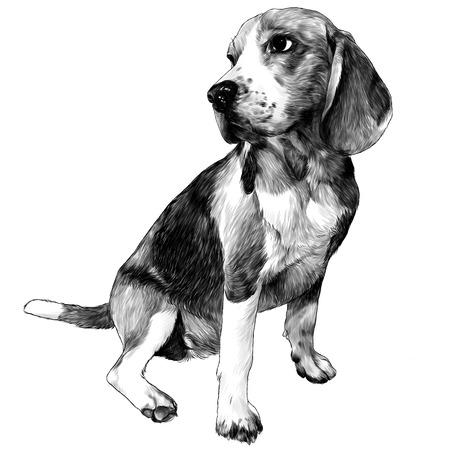 Perro Beagle sentado de cuerpo entero, dibujo ilustración monocroma de gráficos vectoriales sobre fondo blanco. Ilustración de vector