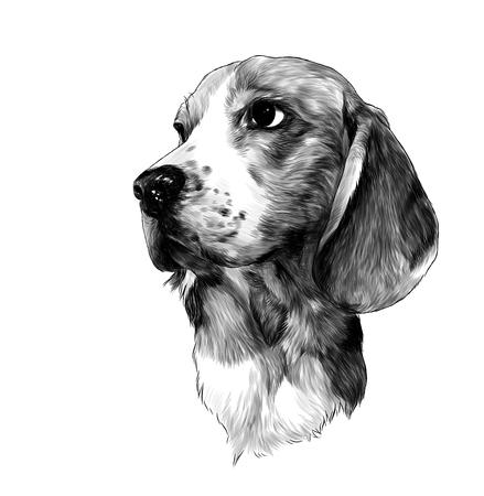 Cabeza de Beagle de raza de perro, ilustración monocroma de gráficos vectoriales de boceto sobre fondo blanco