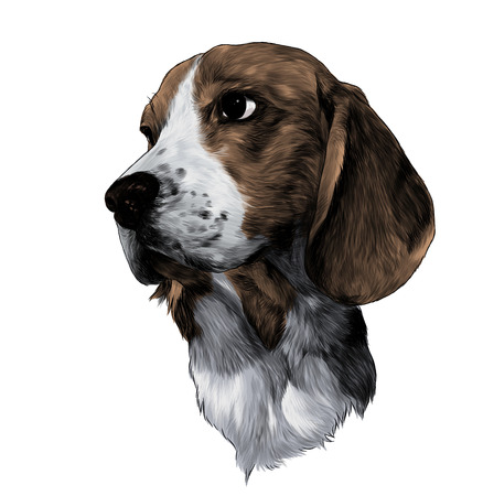 the head of the dog breed Beagle is looking sideways sketch vector graphics color illustration on white background Çizim