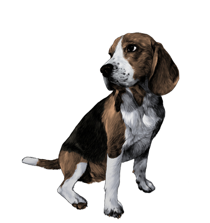 dog breed Beagle sitting full length and looking sideways, sketch vector graphic color illustration on white background Çizim