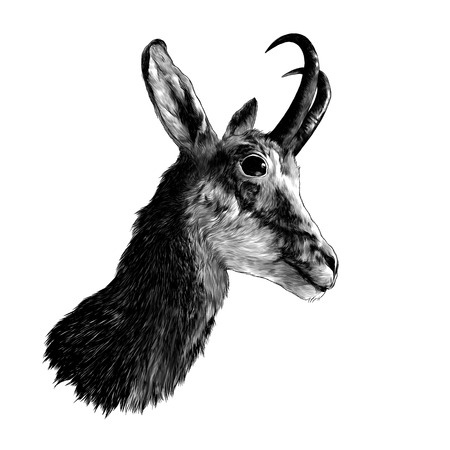 ROE deer head in profile, sketch vector graphics monochrome illustration on white background