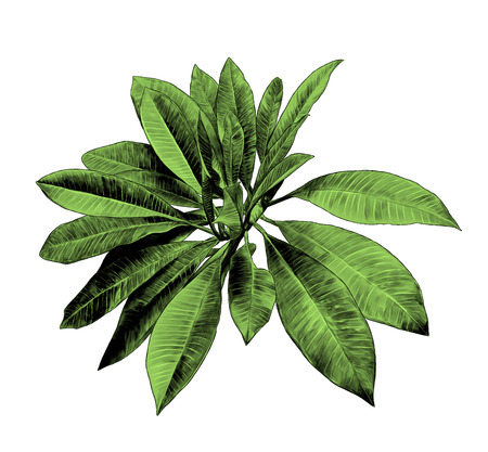 large leaves of tropical plant Bush on tree, sketch vector graphic color illustration on white background Çizim
