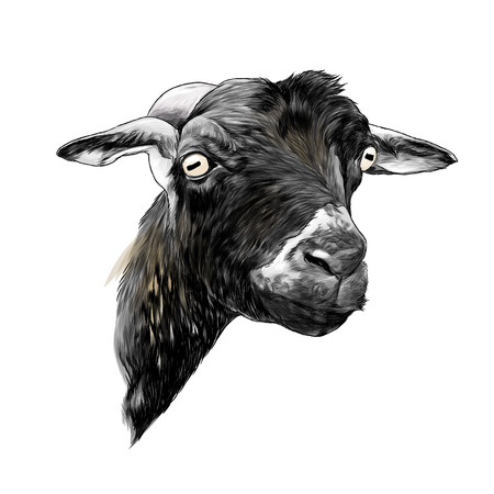 goat head, sketch vector graphic color illustration on white background