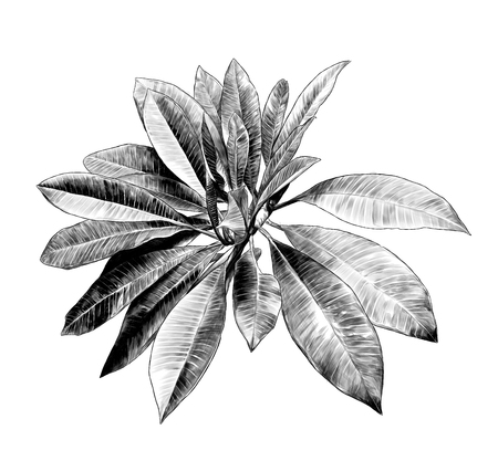 large leaves of tropical plant Bush on tree, sketch vector graphics monochrome illustration on white background