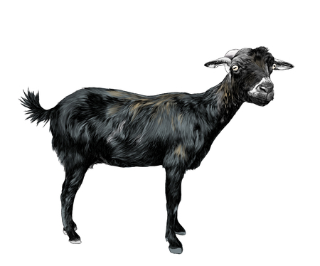 skinny goat stands tall and looks into the camera, sketch vector graphic color illustration on white background
