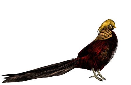 bird Golden pheasant, sketch vector graphic color illustration on white background