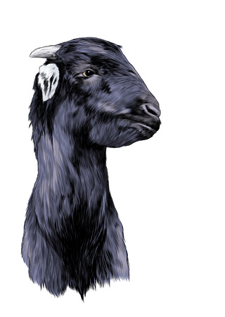 goat head, sketch vector graphic color illustration on white background Stok Fotoğraf - 123529895