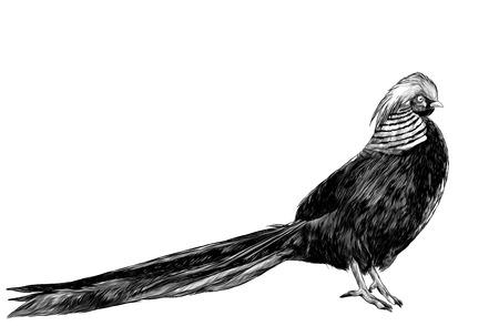bird Golden pheasant, sketch vector graphics monochrome illustration on white background Illustration