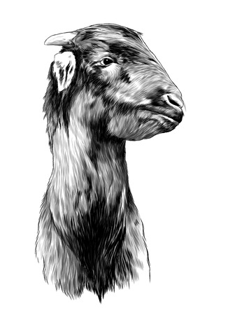 goat head sketch vector graphics monochrome illustration on white background Stock fotó - 123529898