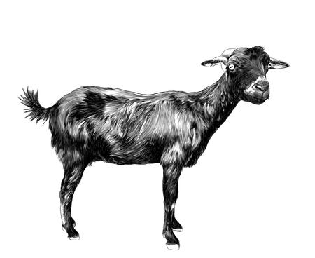 chèvre maigre se tient debout et regarde dans la caméra, croquis illustration monochrome de graphiques vectoriels sur fond blanc Vecteurs