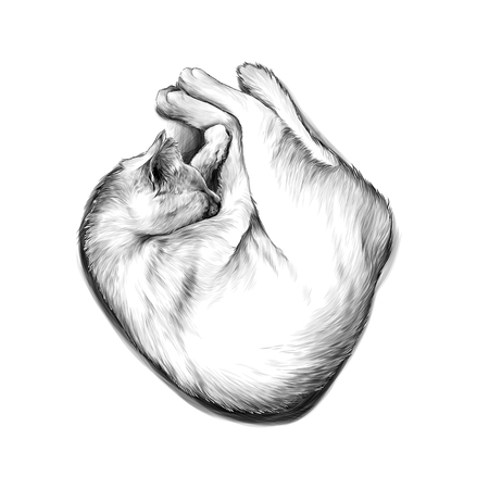 cat curled up in a ball and sleeping , sketch vector graphic monochrome illustration on white background