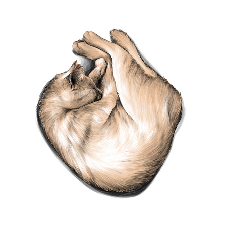 cat curled up in a ball and sleeping , sketch vector graphic color illustration on white background Çizim