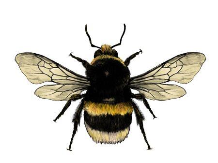 flauschige Hummel-Draufsicht mit Flügeln, Skizze Vektorgrafik-Farbillustration auf weißem Hintergrund