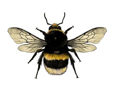 fluffy bumblebee top view with wings, sketch vector graphic color illustration on white background
