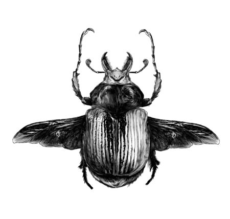 may bug scarab with wings top view, sketch vector graphics monochrome illustration on white background