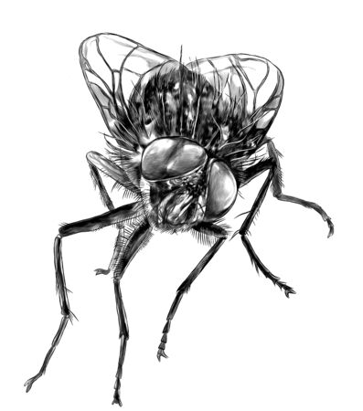 fly sitting and looking into the camera, sketch vector graphics monochrome illustration on white background 일러스트