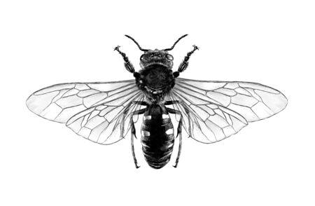 abeja con vista superior de alas abiertas simétricamente, boceto ilustración monocroma de estilo gráfico vectorial sobre fondo blanco