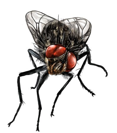 fly sitting and looking into the camera, sketch vector graphic color illustration on white background 일러스트