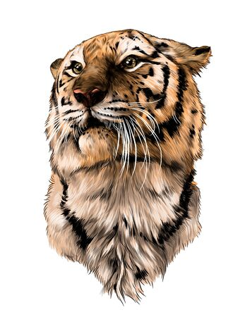 tiger head, sketch vector graphic color illustration on white background