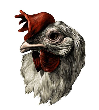 cock head , sketch vector graphic color illustration on white background