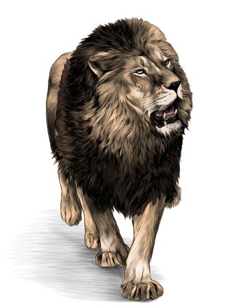 lion in full growth goes, sketch vector graphic color illustration on white background