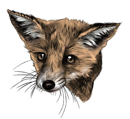 Fox head looks straight full face, sketch vector graphics color illustration on white background
