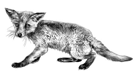 Fox full-length stands, sketch vector graphics monochrome illustration on white background Иллюстрация