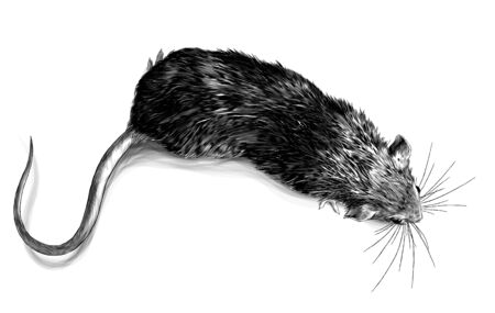 mouse crawling top view, sketch vector graphics monochrome illustration on white background