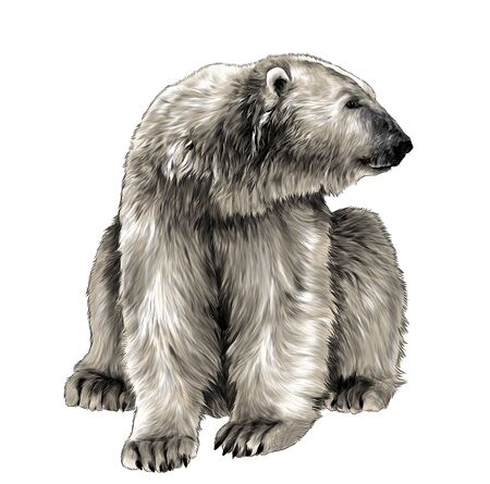 polar bear sitting full length and looking away, sketch vector graphics color illustration on white background Illustration