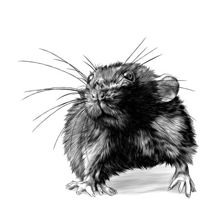 mouse stands tall and looks forward, sketch vector graphics monochrome illustration on white background