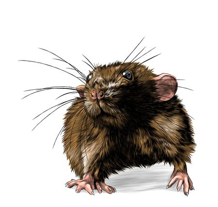 mouse stands tall and looks forward, sketch vector graphics color illustration on white background
