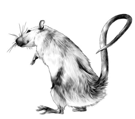 mouse standing on its hind legs full length turned sideways, sketch vector graphics monochrome illustration on white background