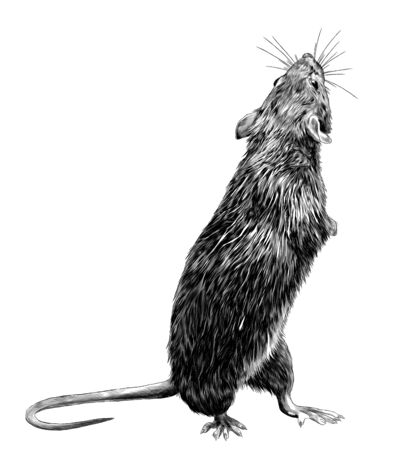 mouse stands tall on its hind legs and looks back, sketch vector graphics monochrome illustration on white background Ilustração