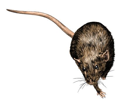 mouse sitting and looking up top view, sketch vector graphics color illustration on white background