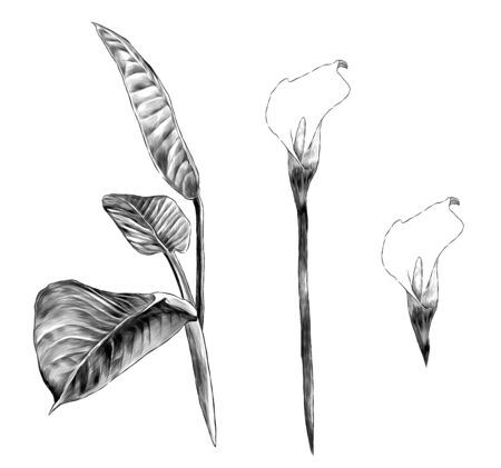 set of Calla flowers and leaves, sketch vector graphics monochrome illustration on white background Ilustracja