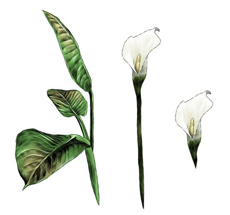 set of Calla flowers and leaves, sketch vector graphics color illustration on white background Ilustracja