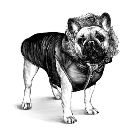 dog breed pug stands tall dressed in winter clothes jacket with hood and fur, sketch vector graphics monochrome illustration on white background