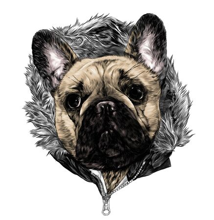 the head of the dog breed pug in the hoodie with warm fur, sketch vector graphics color illustration on white background