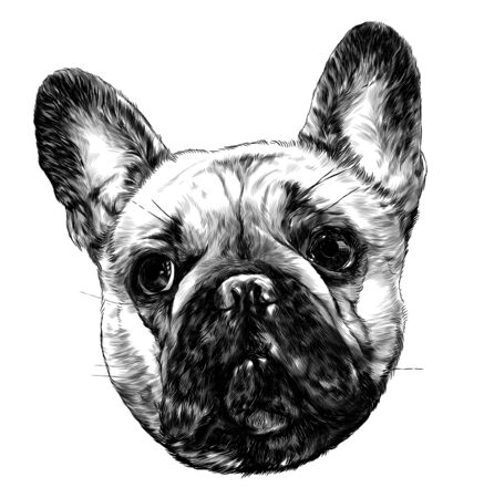 dog head breed pug full face sketch vector graphics monochrome illustration on white background